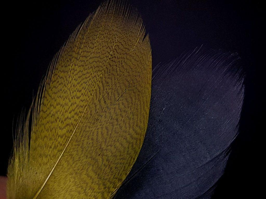 Pióra kaczek