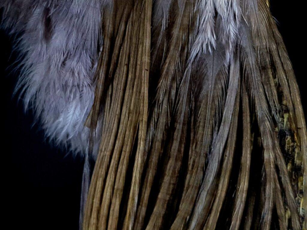 Pióra koguta genetycznego