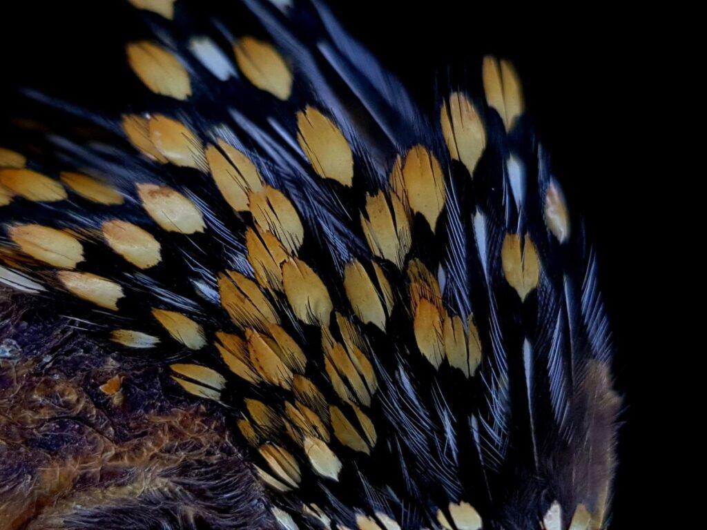 Pióra Jungle cock